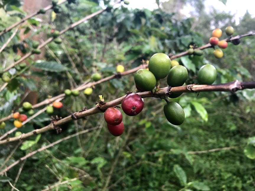 Coffee cherries | Photo taken by Sophie E