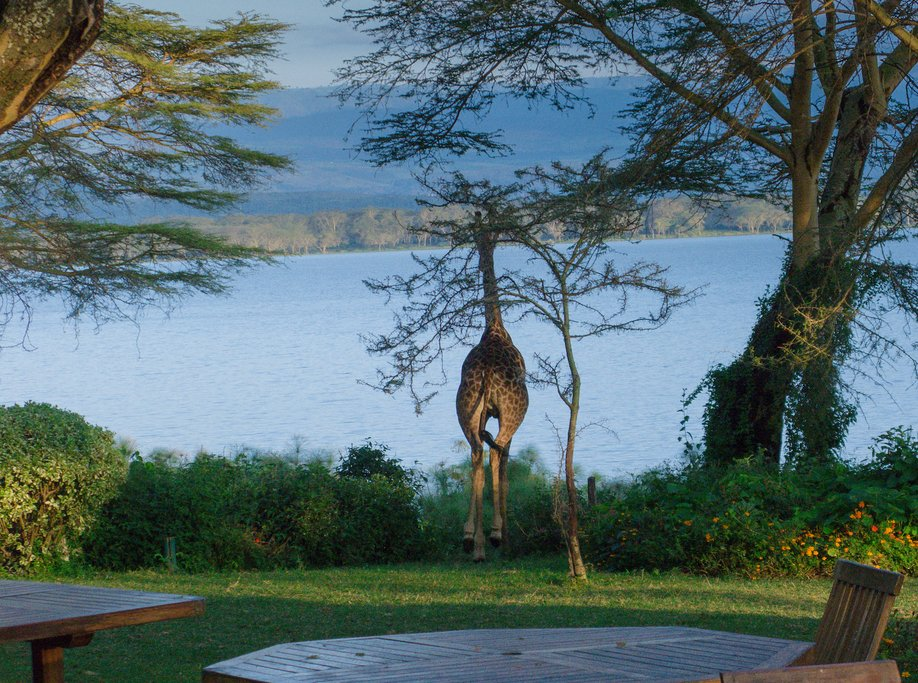 A giraffe on the grounds of the Elsamere Conservation Center