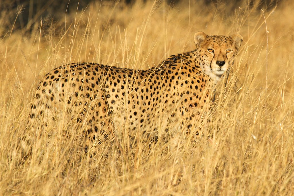 Cheetah on a game drive