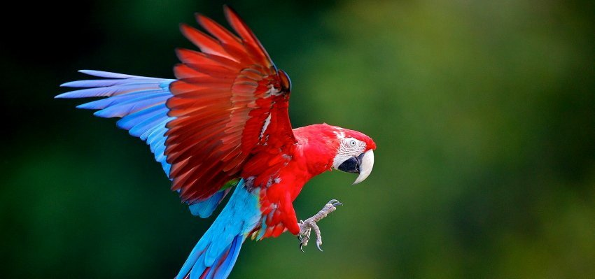 Flocks of Scarlet Macaws call the park home