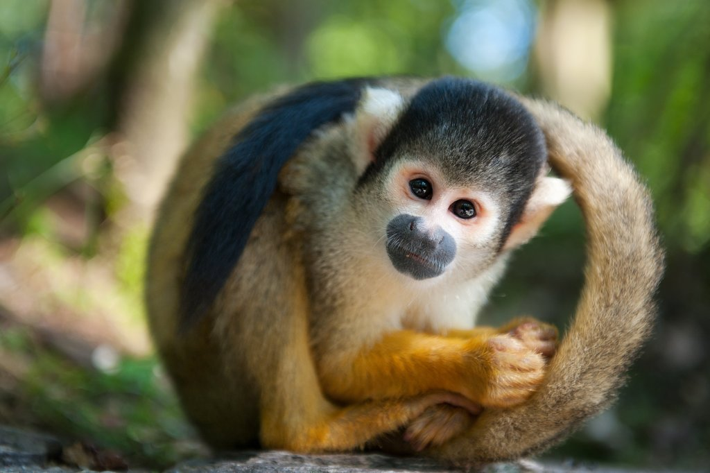 Squirrel monkey, one of the many species found at Foundacion Maikuchiga
