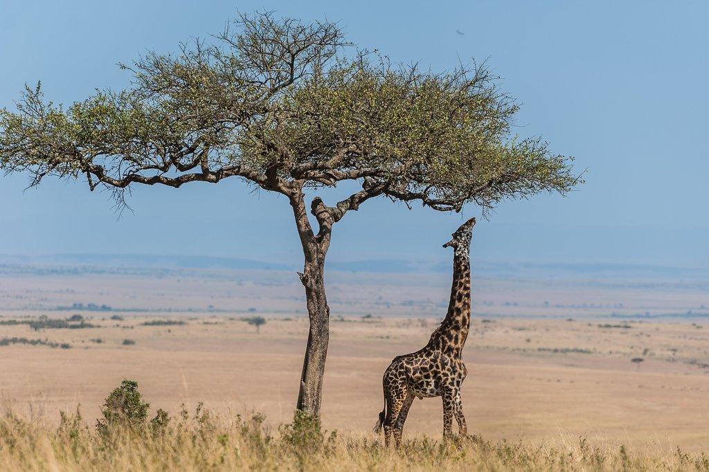 Masai Giraffe at crater lake conserverncy.