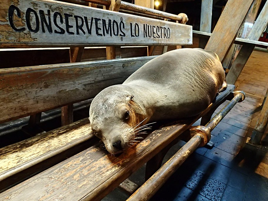 Sea lion resting on a bench