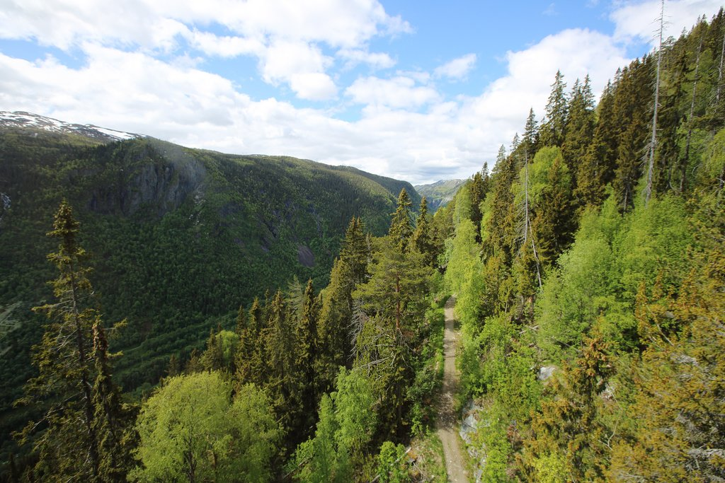 A fragrant forest of fir trees near Hardangervidda