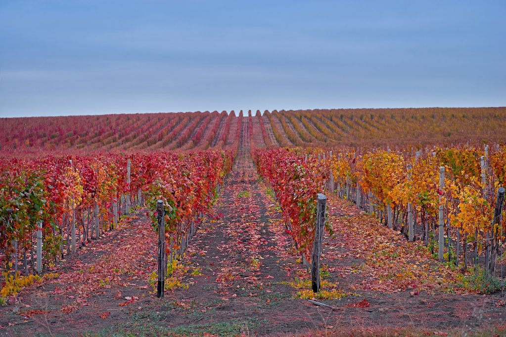 Changing colors in the vineyards of Chianti