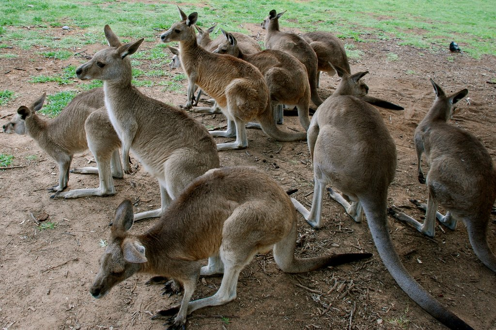 Mingle with kangaroos at Lone Pine Koala Sanctuary