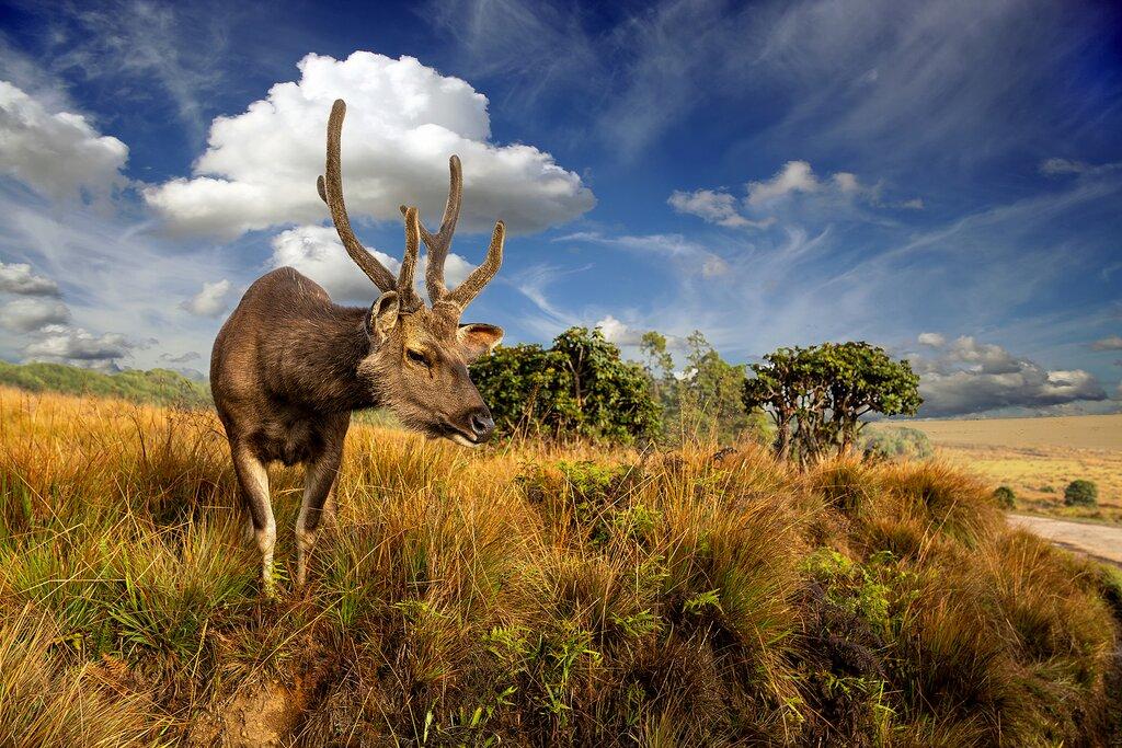 A wild deer in Horton Plains National Park