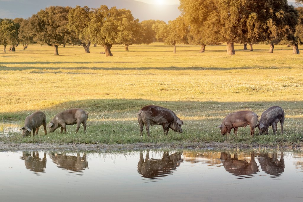Iberian pigs in their natural environment