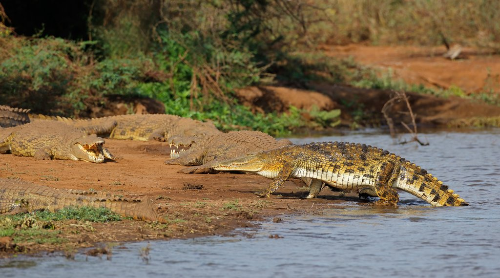Nile crocodiles basking in the sun