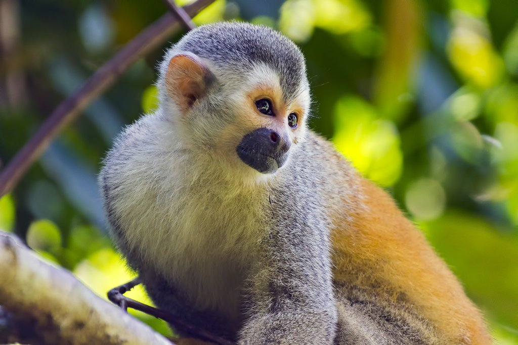 Look for squirrel monkeys in the park