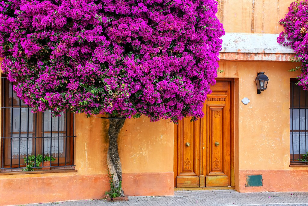 Bougainvillea in the historic quarter of Colonia del Sacramento