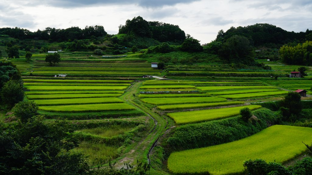 Rice Fields in Asuka (photo courtesy of Kento Kodama/Shutterstock)