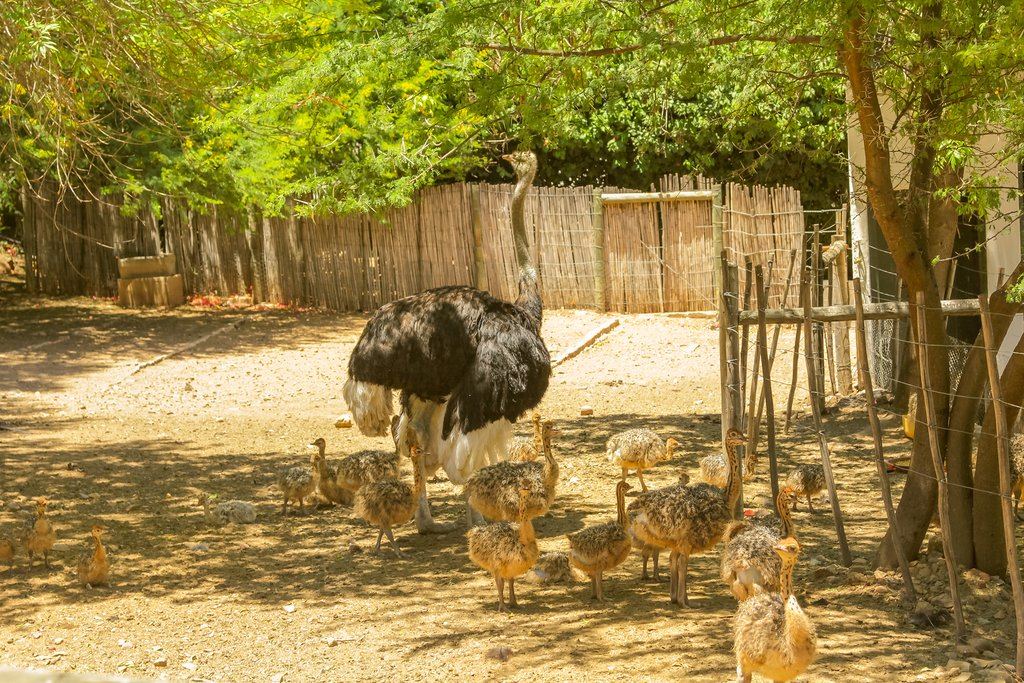 Mother ostrich and her chicks at an ostrich farm
