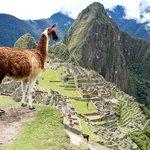 A llamas resident of Machu Picchu
