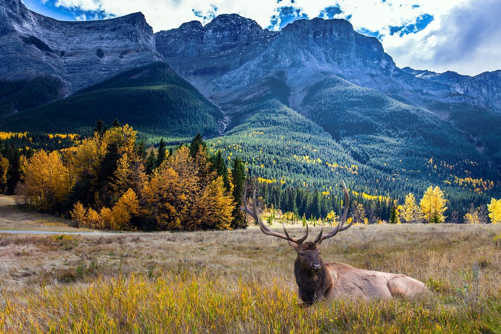 A red deer resting in a field outside of Canmore