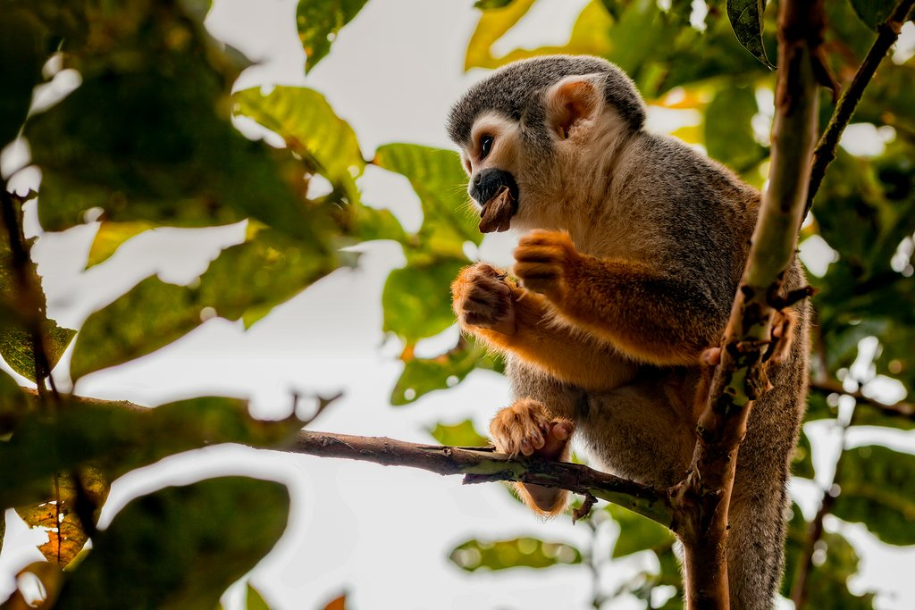 Squirrel Monkey in Yasuni National Park