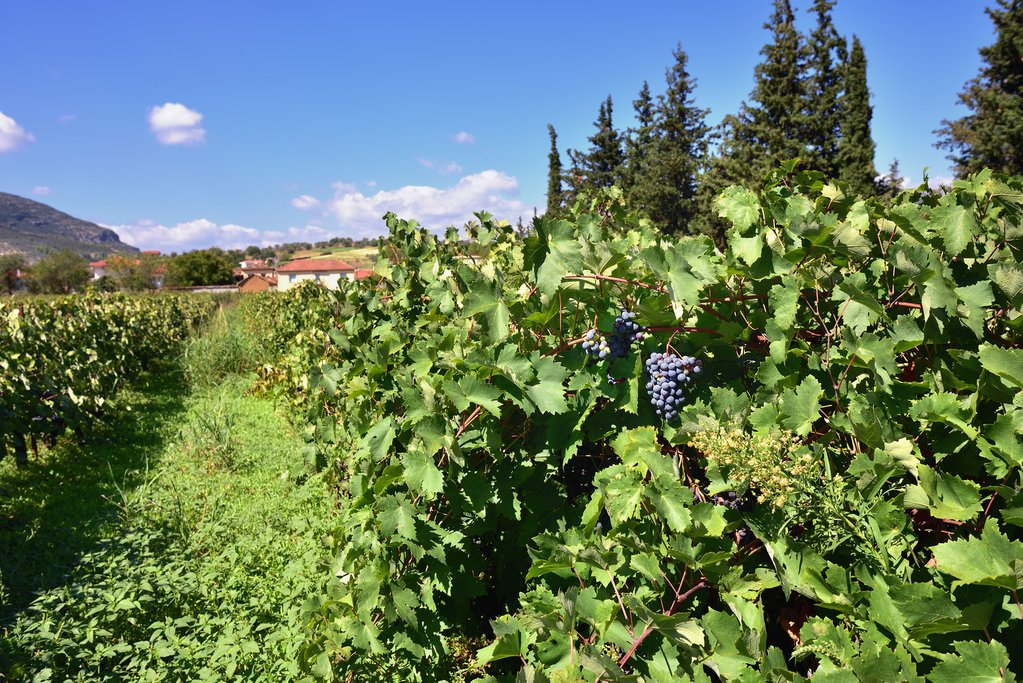 One of the many vineyards around Nemea