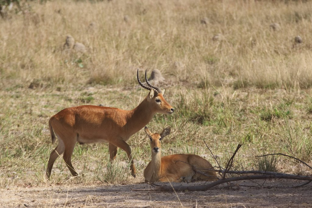 Two antelope in Kafue National Park