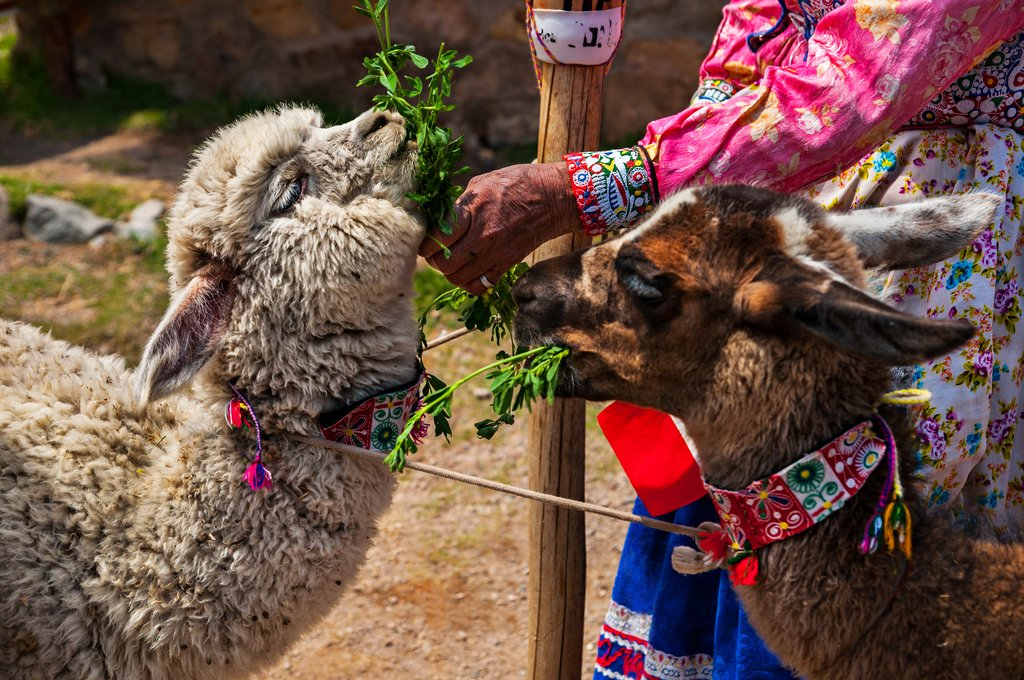 Llama and alpaca wool is used for textiles