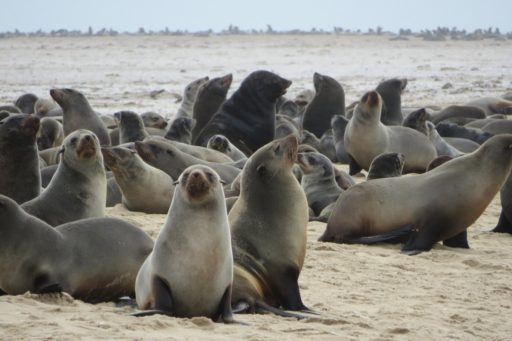 Cape Fur Seals in Cape Seal Cross Seal Reserve in Namibia