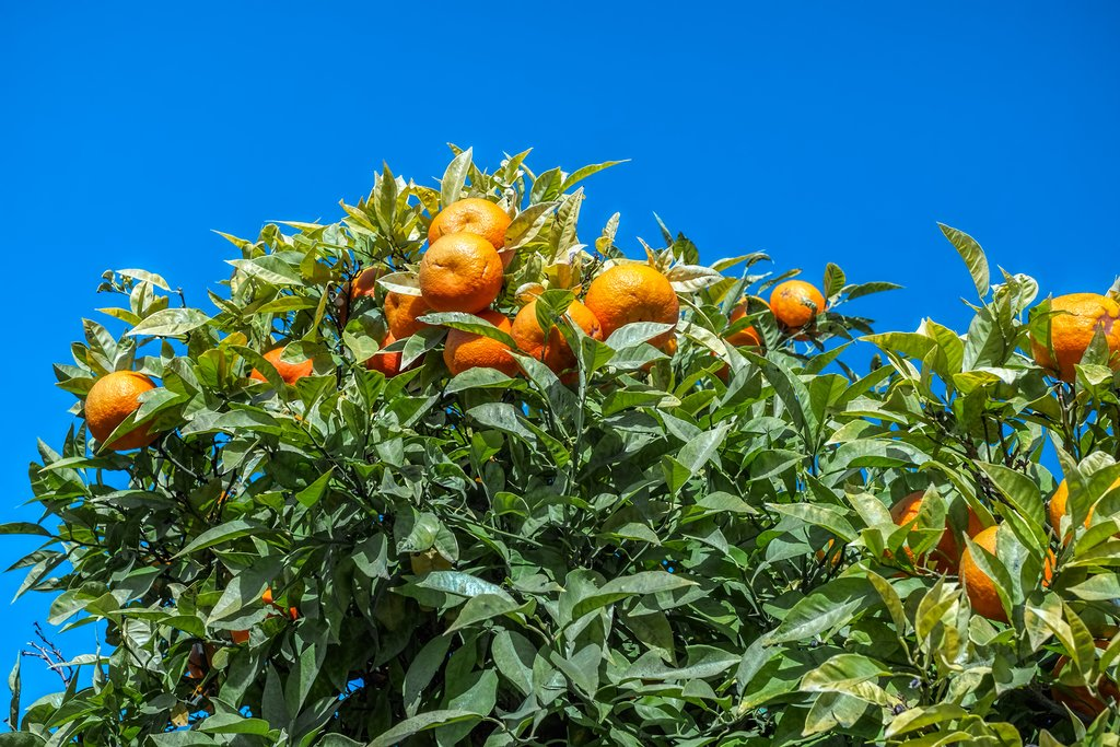 Pick oranges in the sun