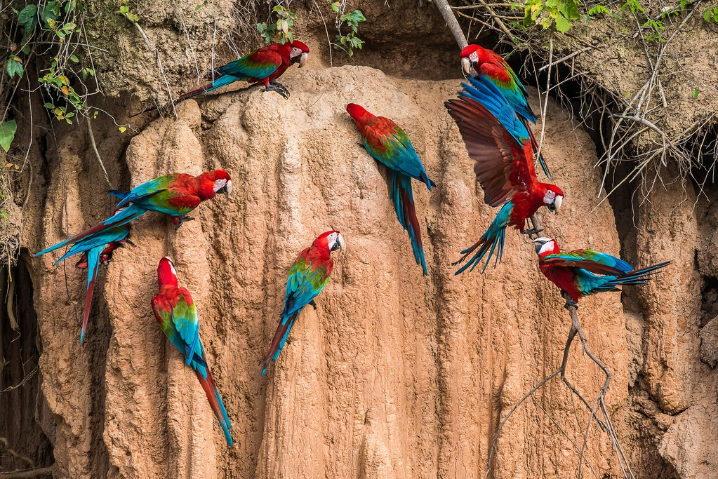 Macaws feed at one of the most bird-rich clay licks in Peru on the Madre de Dios river, Parque Nacional Manu