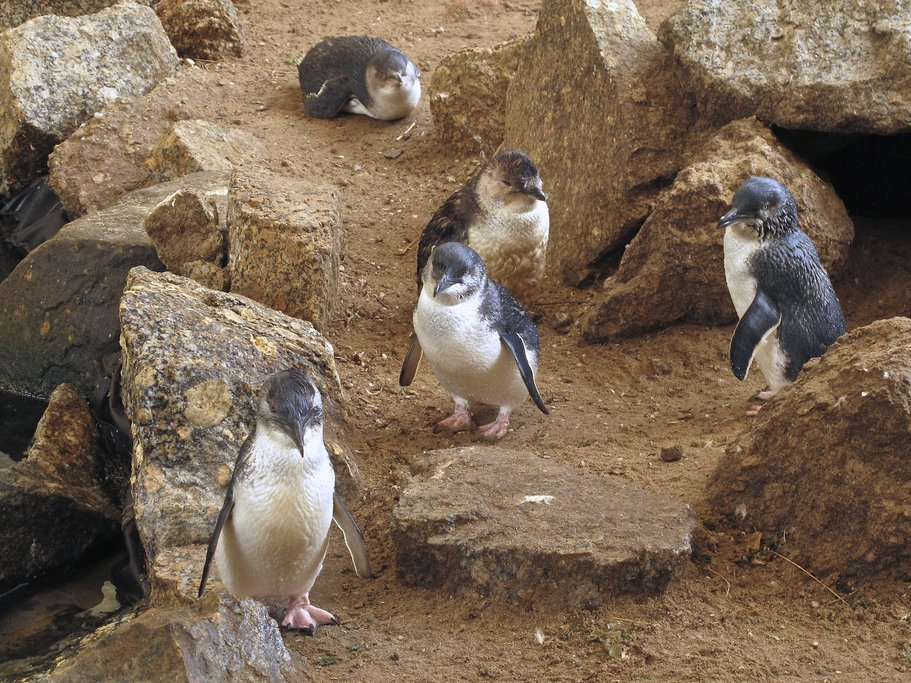 Visit the little blue penguins at Royal Albatross Centre