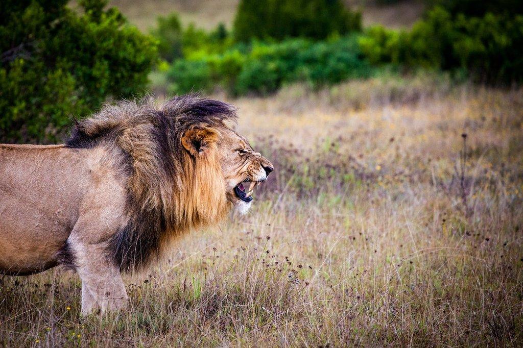 A lion baring teeth in Kruger National Park