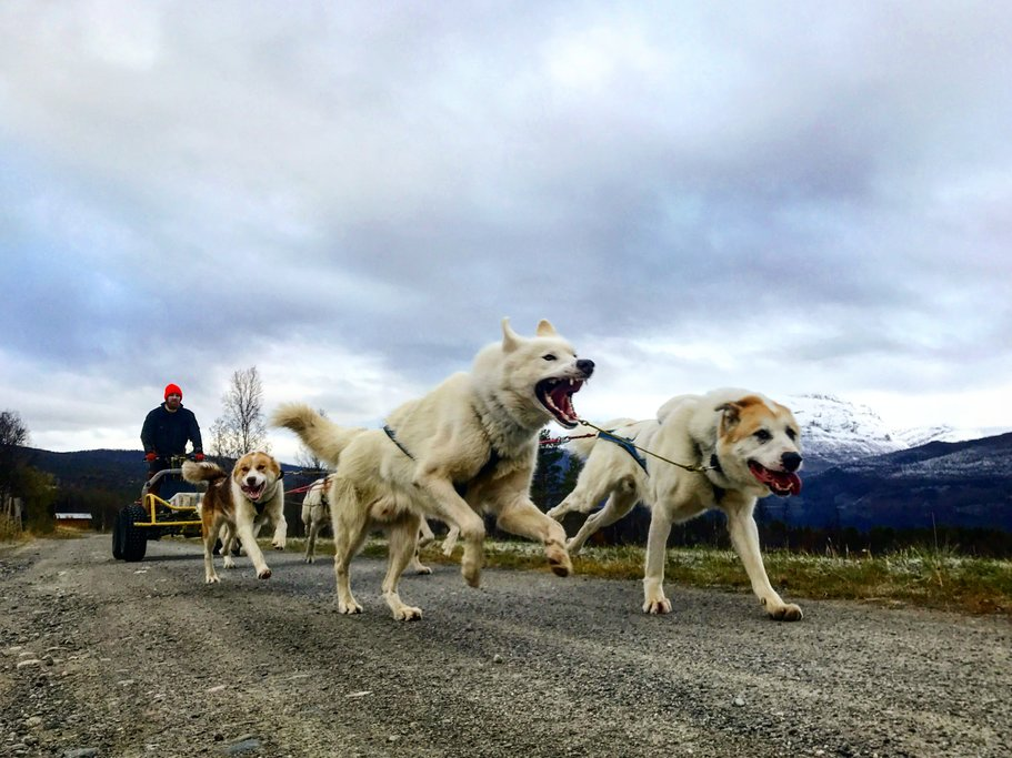 Meet your team of friendly Greenland sled dogs.