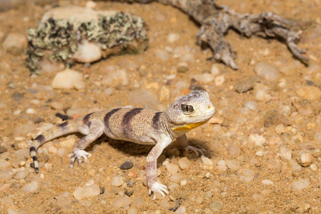 Barking Gecko  in the Namib Desert