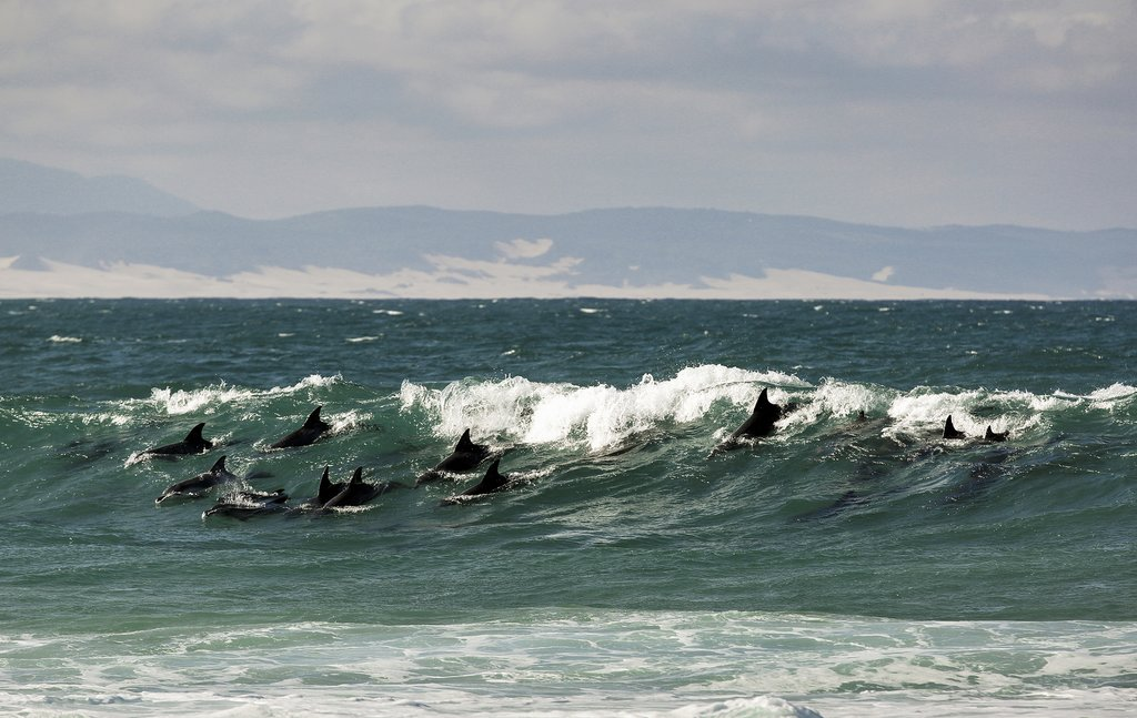 Bottlenose dolphins in Jeffreys Bay