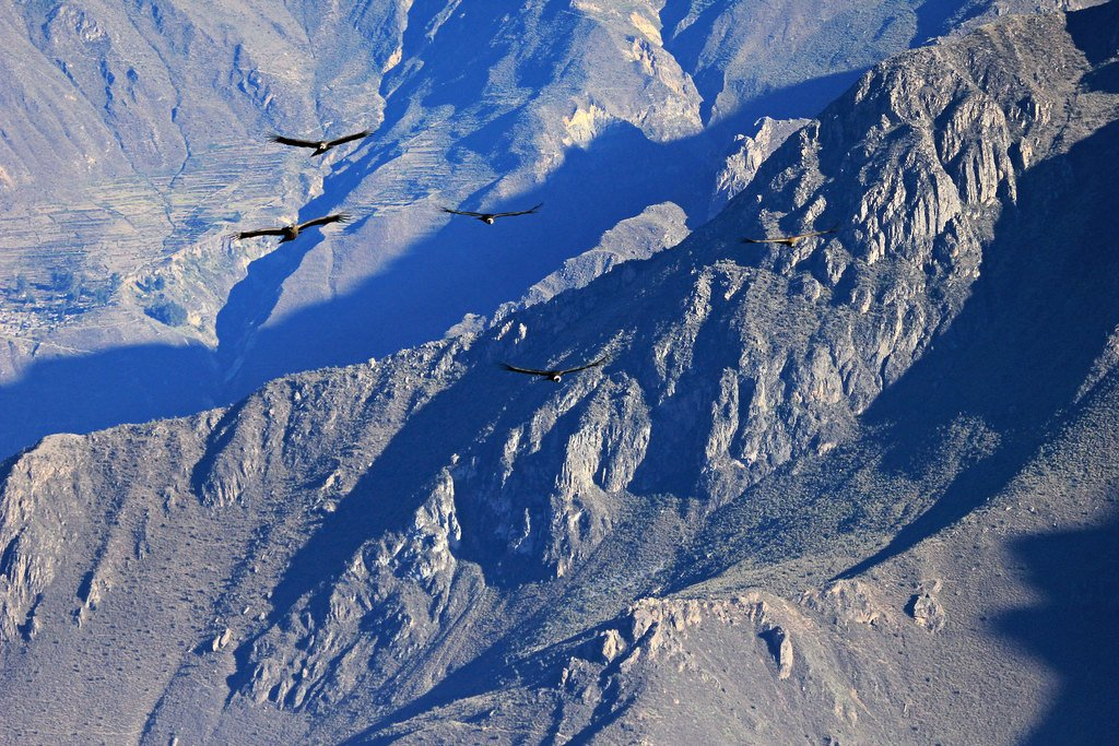 Condors flying over Colca Canyon