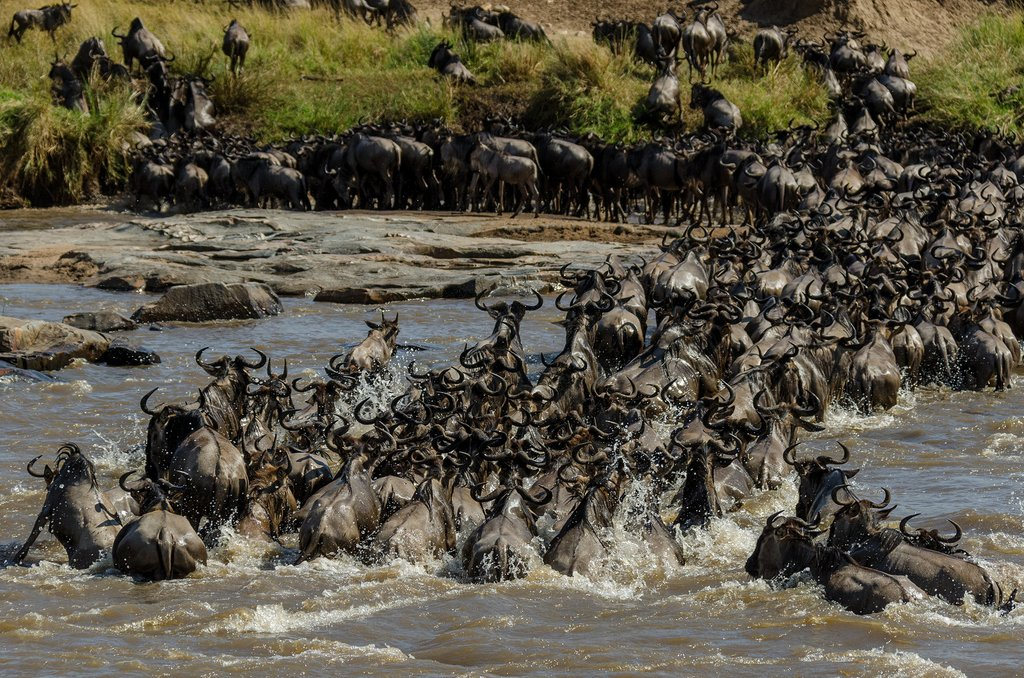 Wildebeest hastily cross the Mara River