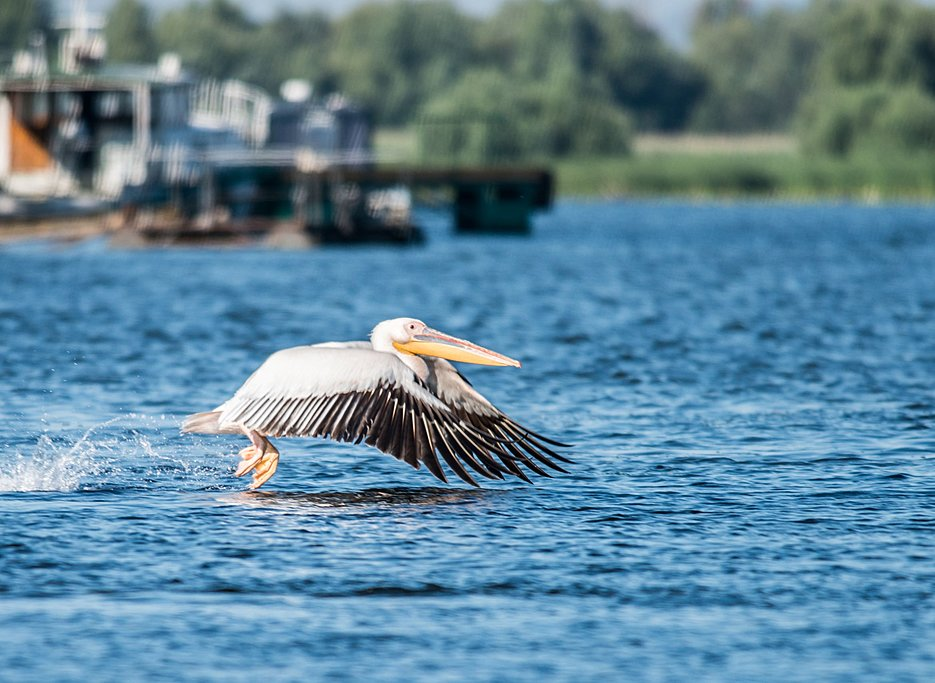 Pelican in flight on the Danube