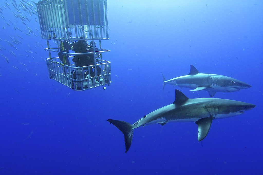 Cage-diving with great white sharks