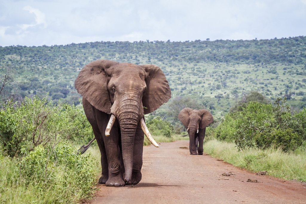 African bush elephants at Kruger National Park, South Africa