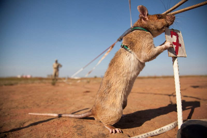 See the heroic landmine-hunting rats of Apopo!