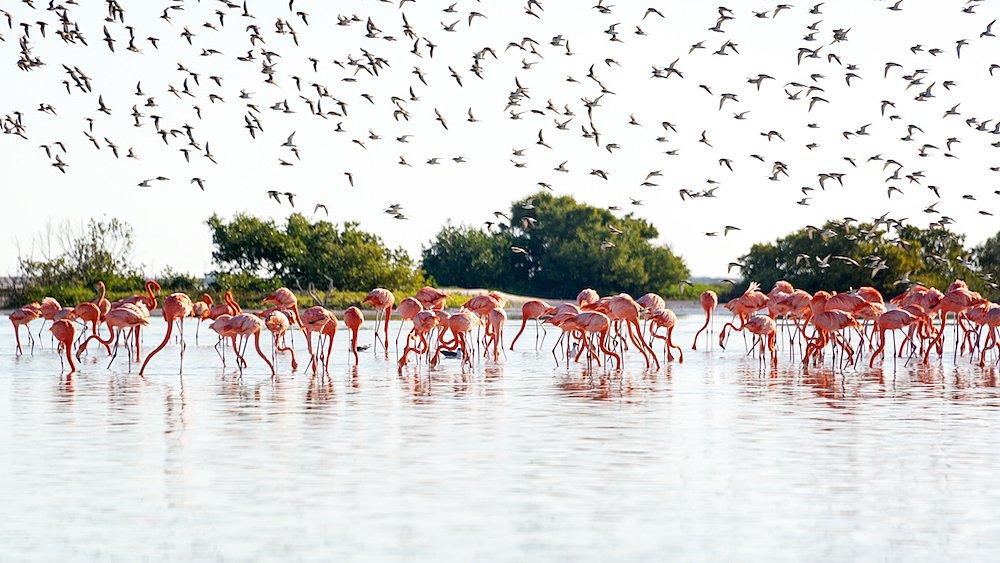 Flamingos at Río Lagartos