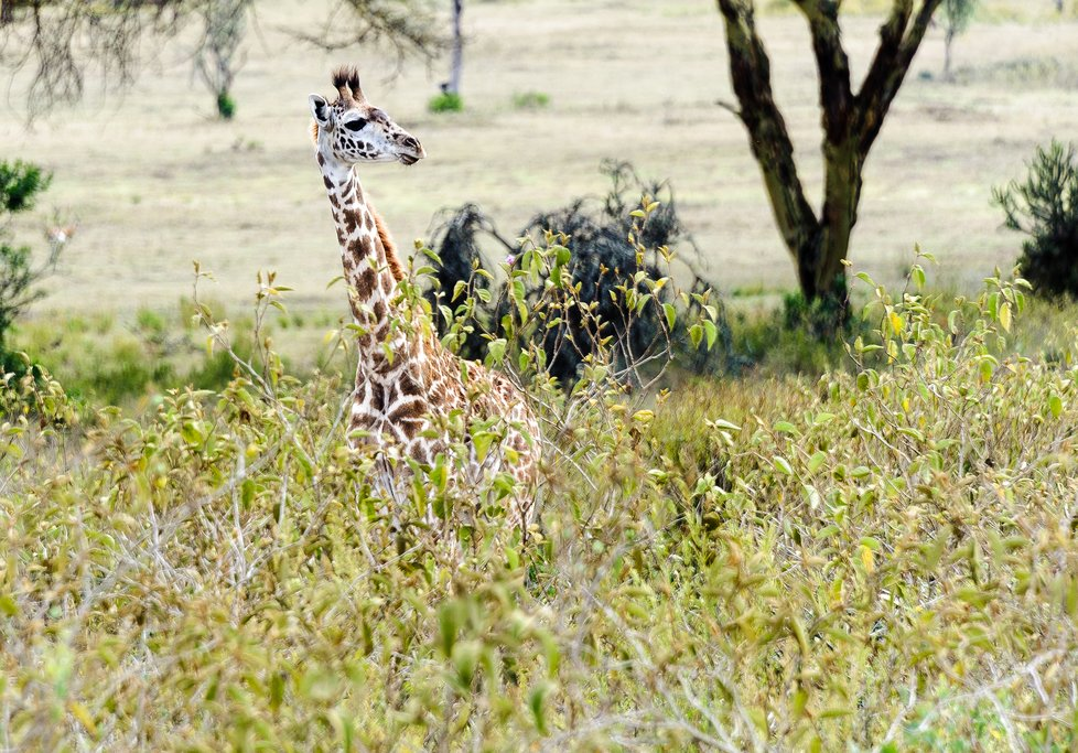 Baby giraffe in Hell's Gate National Park