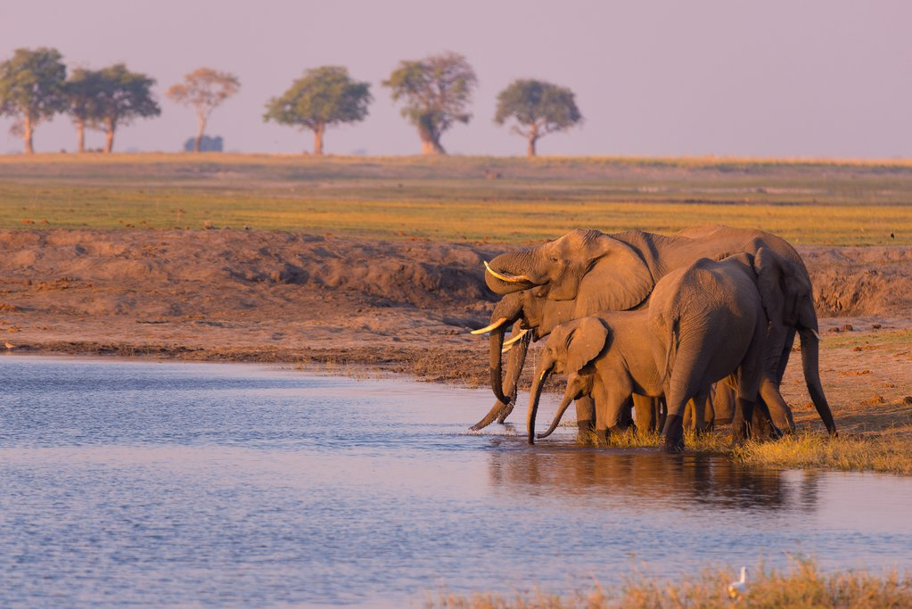 Group of elephants drinking from the Chobe River