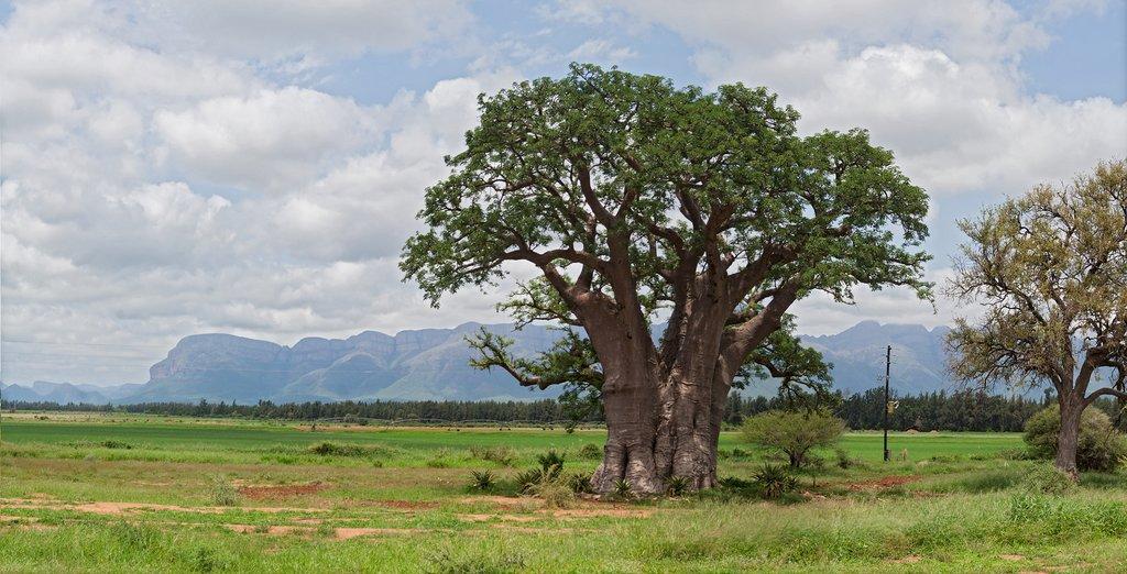 Baobab tree in Hoedspruit, South Africa
