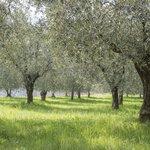 Olive trees on Lake Garda