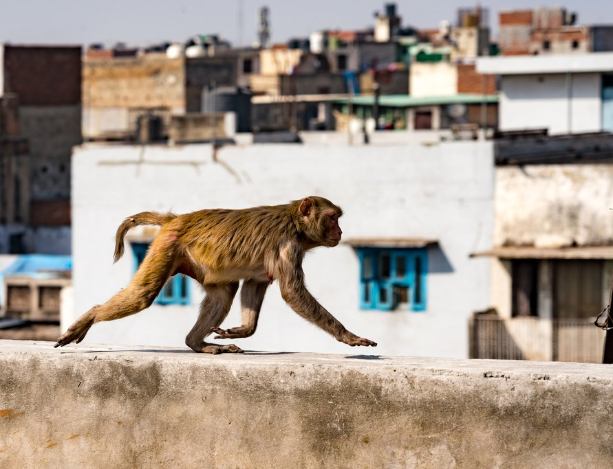 Urban monkey in New Delhi