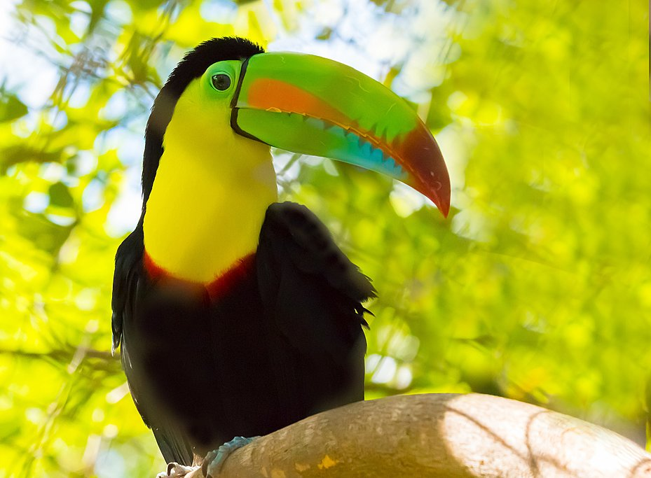 Keel-billed toucan, one of many bird species you can spot around Minca