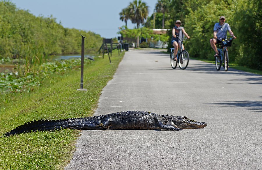 Alligator sunning himself on the bike path at Shark Valley
