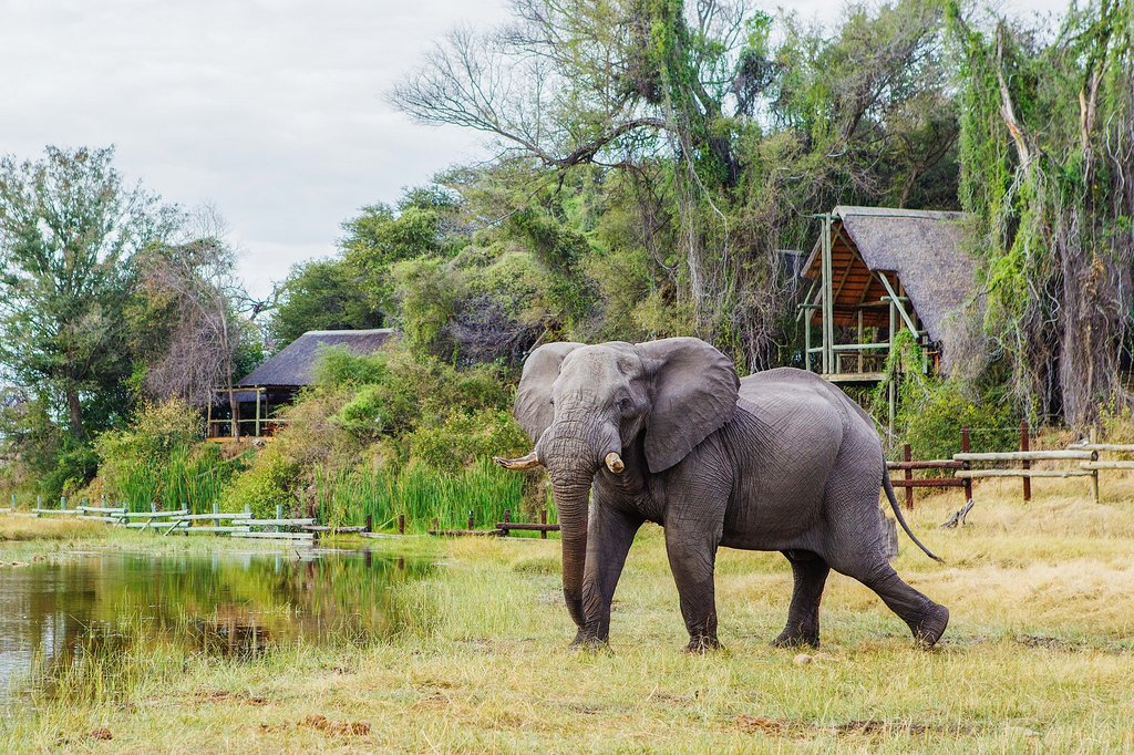 Elephant in front of Savute Lodge