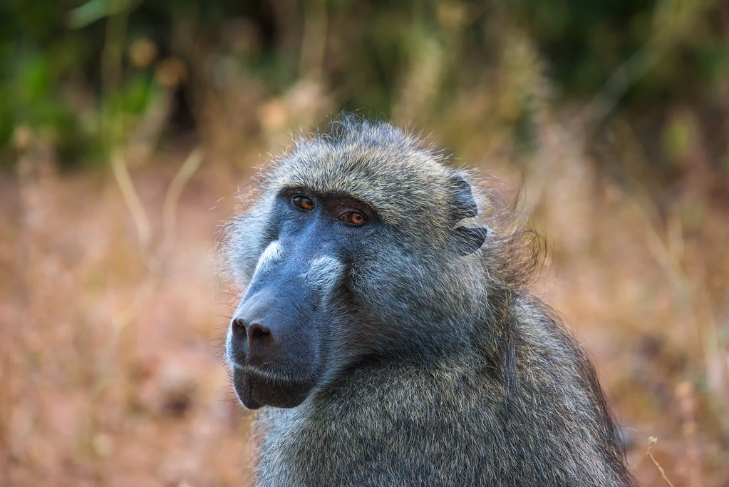 Chacma baboon Chobe National Park