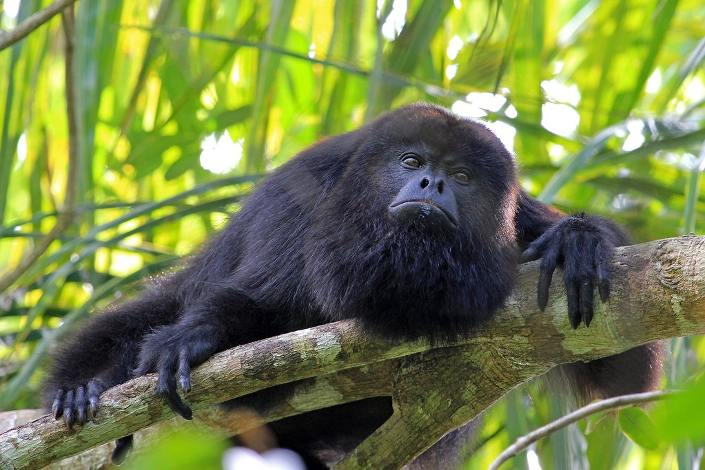 A black howler monkey is native to the region