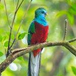 The resplendent quetzal, perhaps the most exotic bird in Monteverde