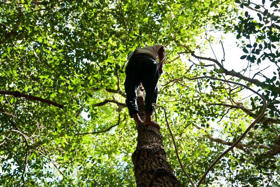 Climbing the gum tree